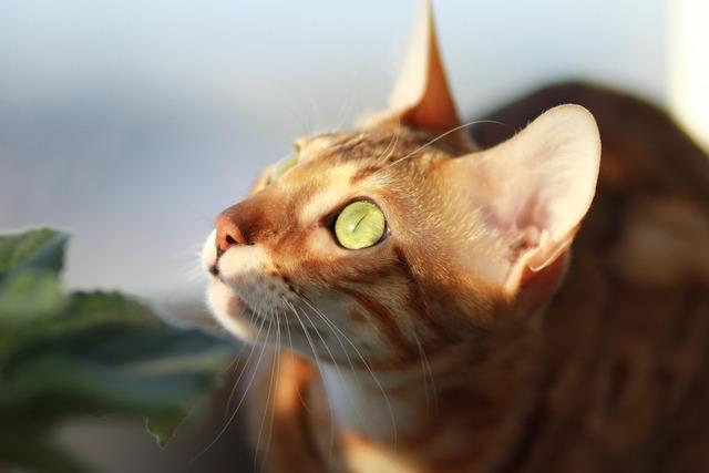 Cat bengali pet, animals.