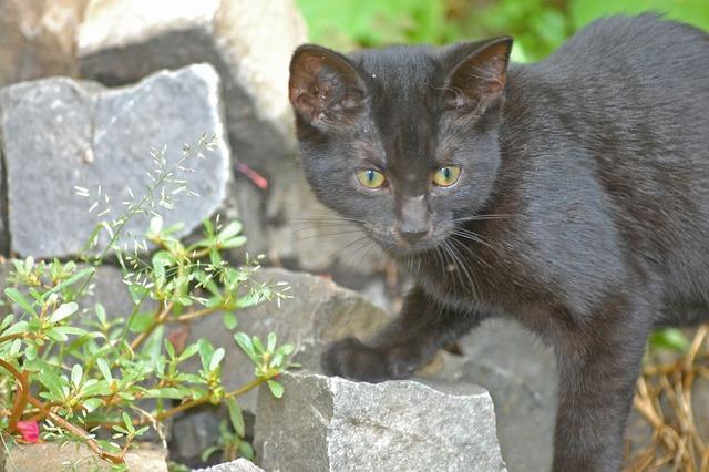 Cat black black cat, animals.
