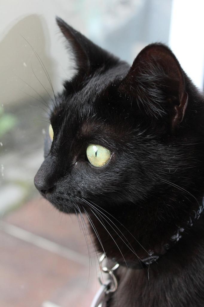 Cat black cat pet, animals.
