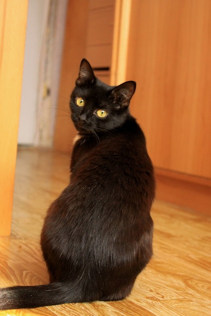 Cat black cat yellow-eyed cat, animals.