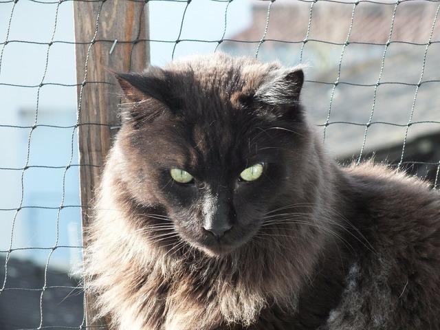 Cat black pet, animals.
