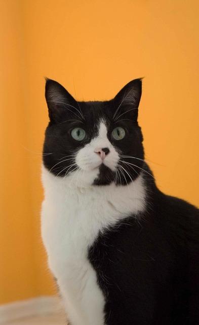 Cat black white fur orange wall, animals.