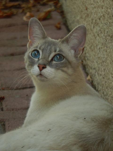 Cat blue eyes animal, animals.