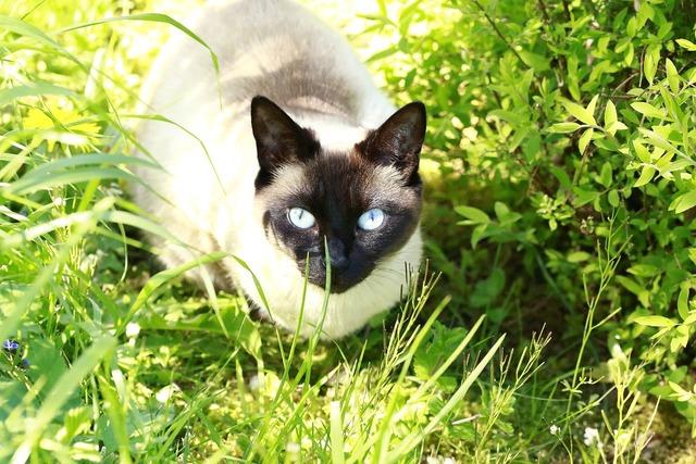 Cat blue eyes blue, animals.