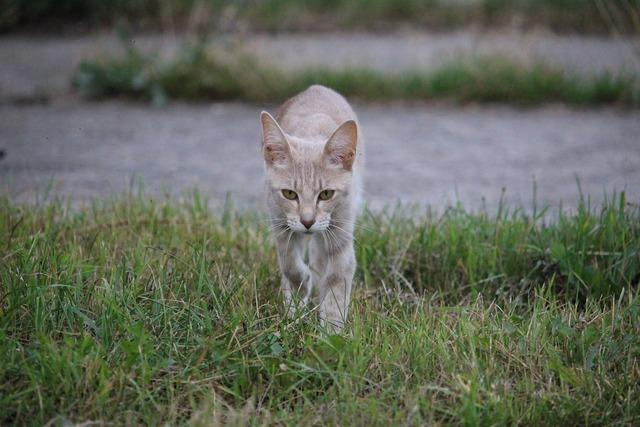 Cat breed cat domestic cat, animals.