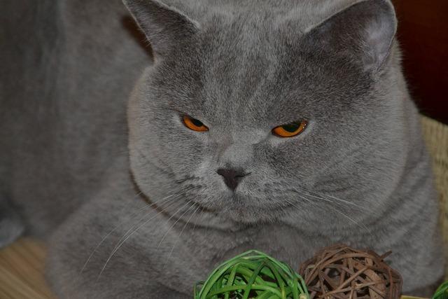 Cat british blue, animals.