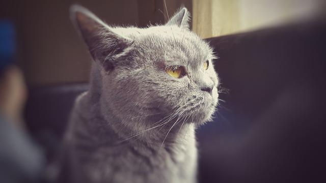 Cat british eyes, animals.
