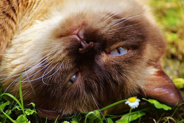 Cat british shorthair fur, animals.
