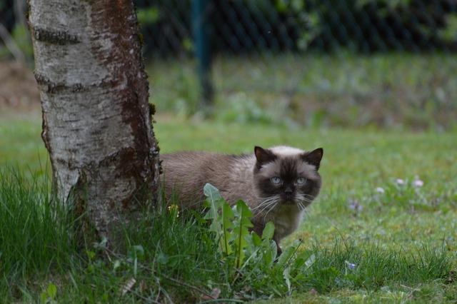 Cat british shorthair mieze, animals.