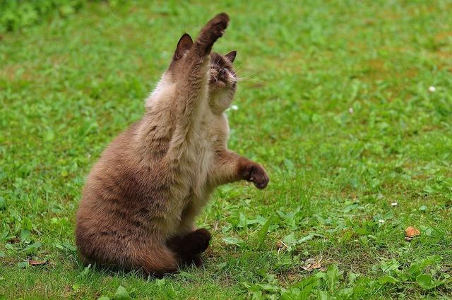 Cat british shorthair play, animals.