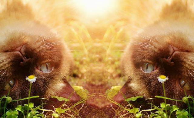 Cat british shorthair thoroughbred, animals.