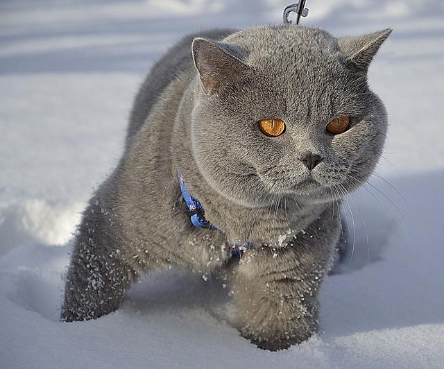 Cat british snow, animals.