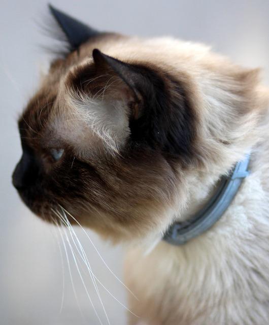 Cat burmese blue eyes, animals.