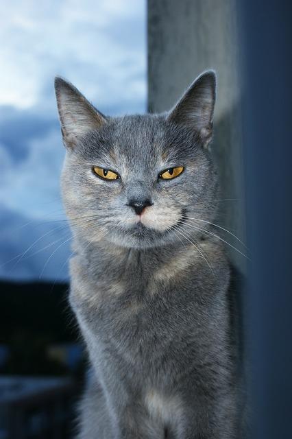 Cat cat face animal, animals.