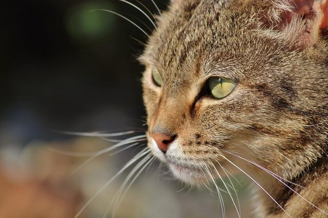 Cat cat face domestic cat, animals.