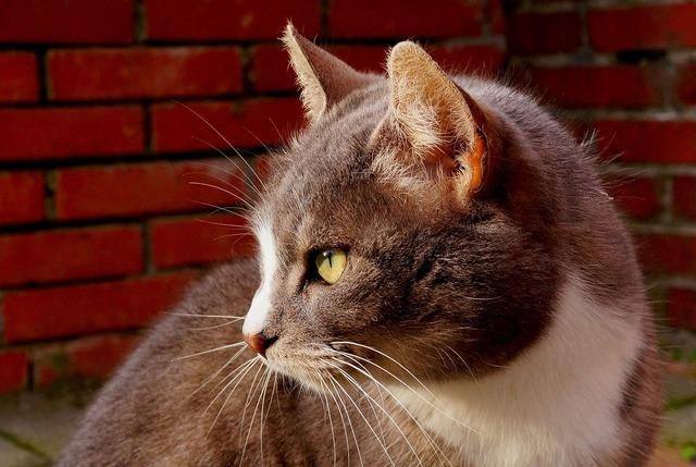 Cat cat face head, animals.