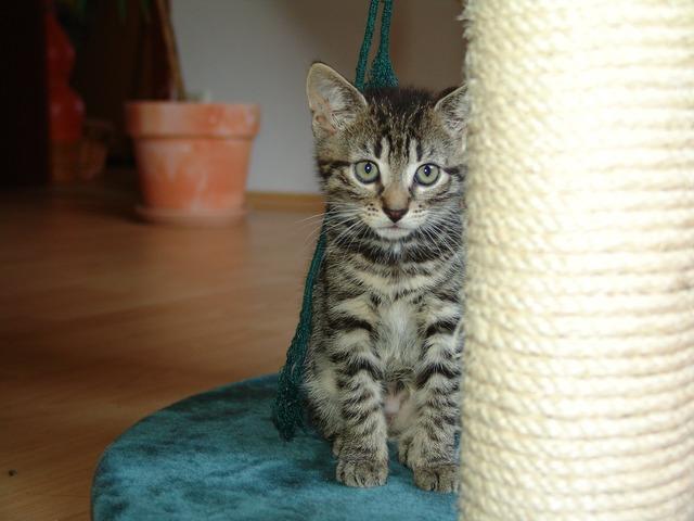 Cat cat portrait mackerel, animals.