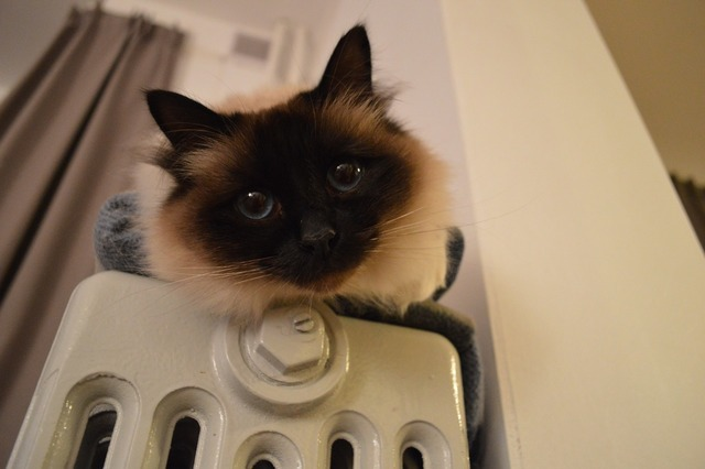 Cat cats pet, animals.