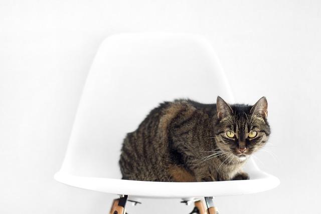 Cat chair sit, animals.