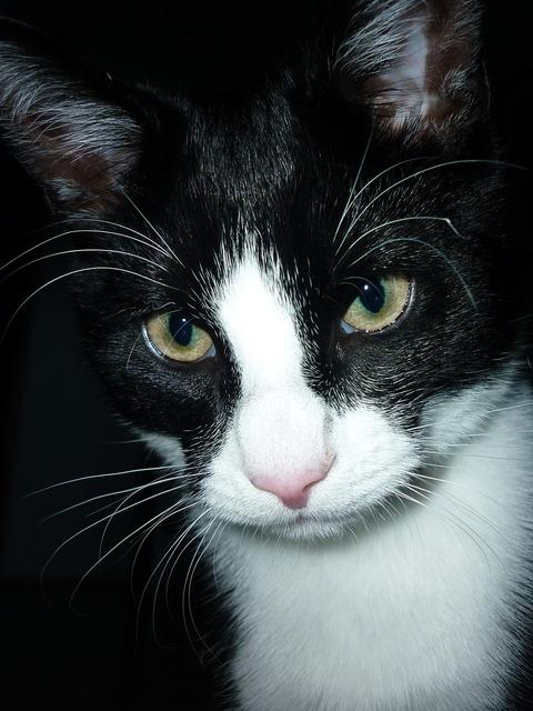 Cat close domestic cat, animals.