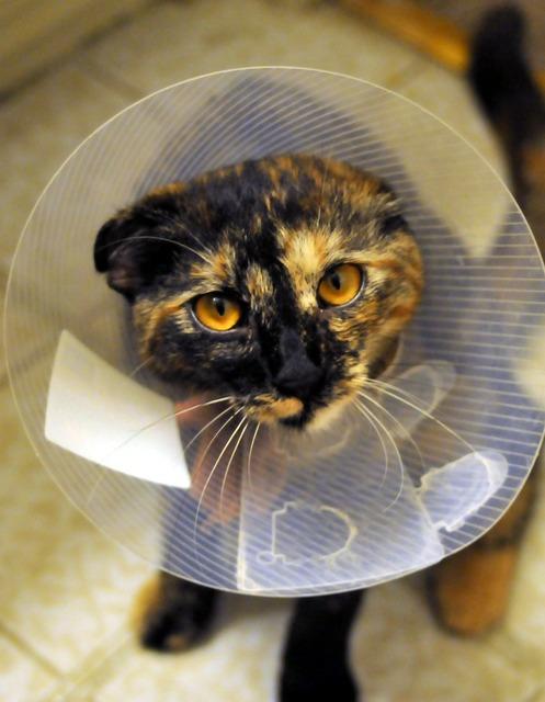 Cat collar spayed, animals.