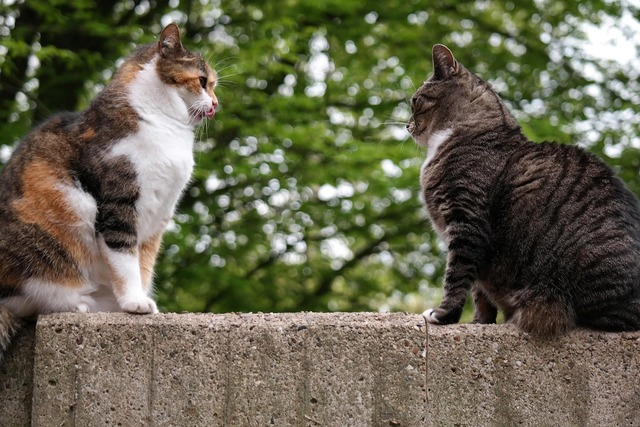 Cat domestic cat british shorthair, animals.
