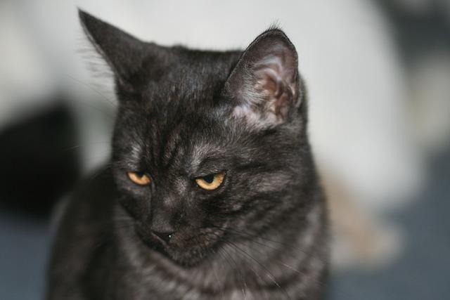 Cat domestic cat ekh, animals.