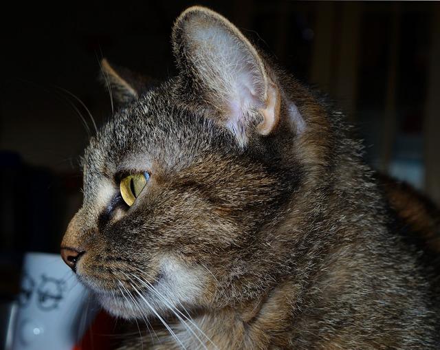 Cat domestic cat female, animals.