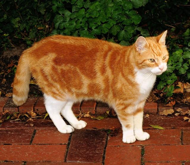 Cat domestic cat mackerel, animals.