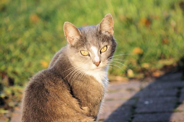 Cat domestic cat mieze, animals.