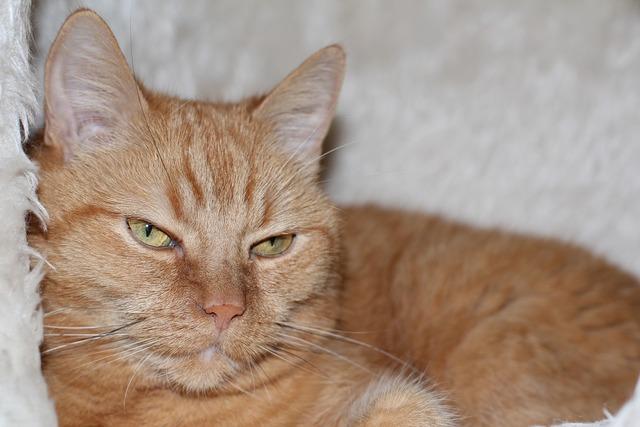 Cat domestic cat red cat, animals.
