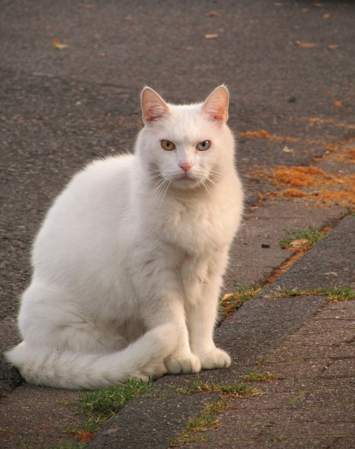 Cat domestic cat white cat, animals.