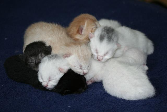 Cat domestic cats kitten, animals.