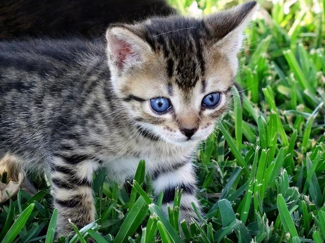 Cat eyes blue, animals.