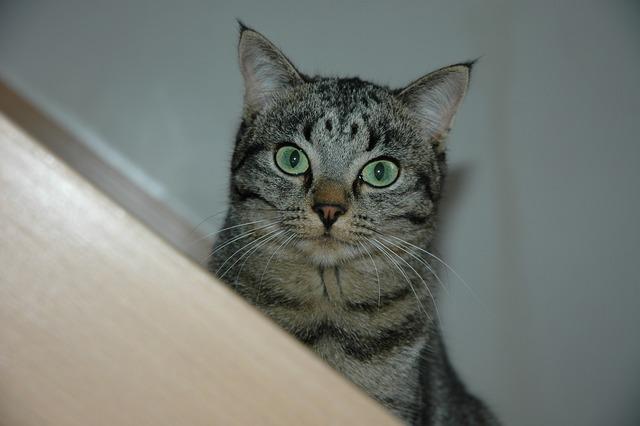 Cat eyes green, animals.