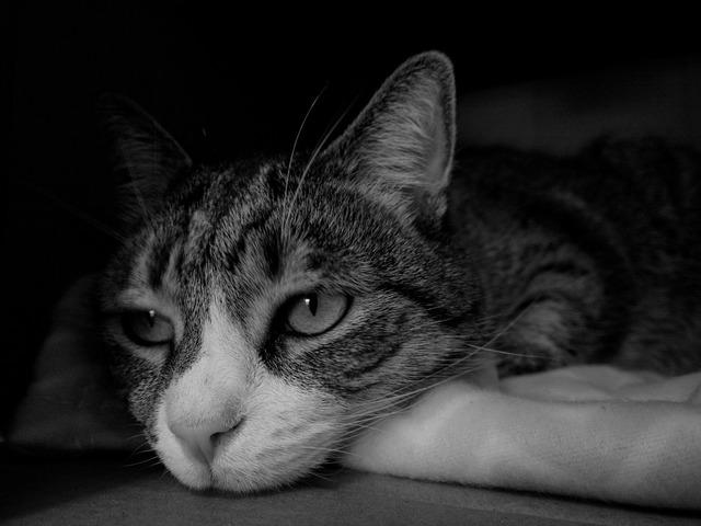 Cat face portrait, animals.