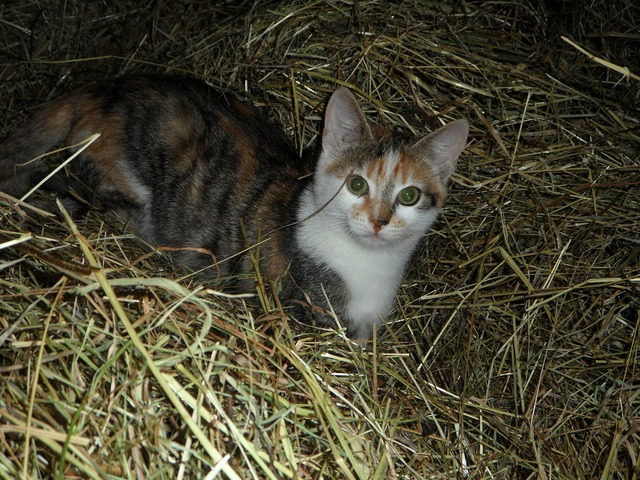 Cat farm hay, animals.