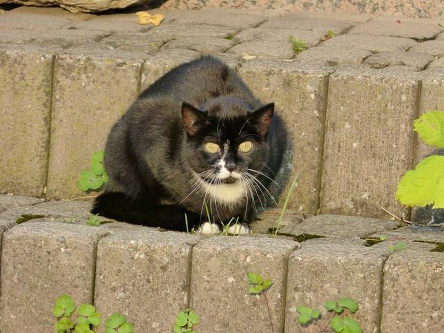 Cat felidae mammal, animals.