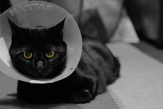Cat feline black cat, animals.