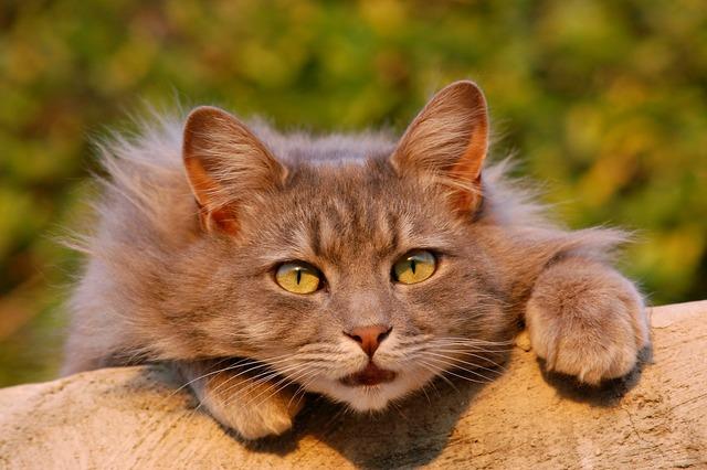 Cat feline furry, animals.