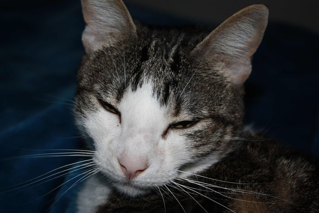 Cat feline gray, animals.