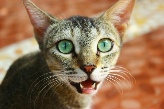 Cat feline pet, animals.