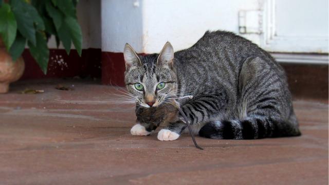 Cat feline rat, animals.