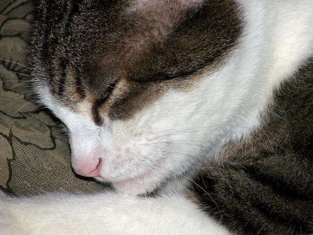 Cat feline sleep, animals.