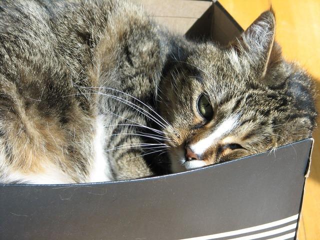 Cat feline tabby, animals.