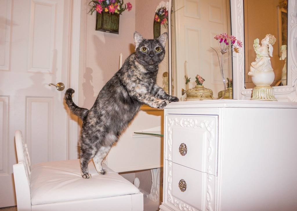 Cat feline tortie, animals.