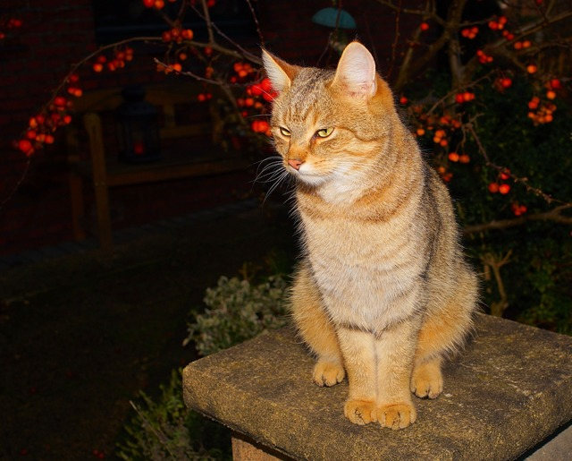 Cat female pet, animals.