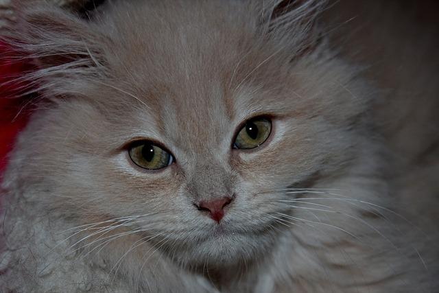 Cat fluffy cute, animals.