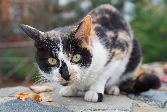 Cat gilnyangyi tricolor cat, animals.