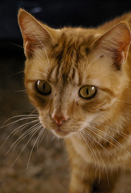 Cat ginger eyes, animals.
